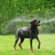 Stock Photo: Dog taking shower
