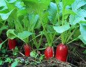 Growing radish — Stock Photo