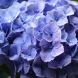 Stock Photo: Hydrangea after a rain