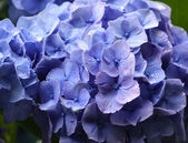 Hydrangea after a rain — Stock Photo