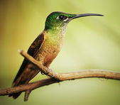 Hummingbird resting on a twig — Stock Photo