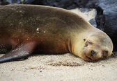 Lazy sea lion — Stock Photo