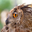 Eye eagle owl — Stock Photo #9869781