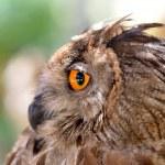 Eye eagle owl — Stock Photo
