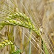 Wheat in the field — Stock Photo