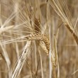 Stock Photo: Wheat and cereals
