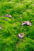 Texture des algues vertes sur la plage — Photo