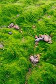 Texture of green algae on the beach — Стоковое фото
