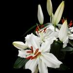 Lilies — Stock Photo #10385751