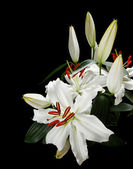 Lilies — Stock Photo