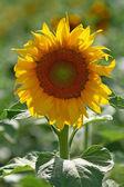 Beautiful sunflower in a field — Stock Photo