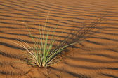 Plant in sand dunes in a desert — Stock Photo