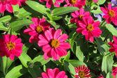 Red zinnias — Stock Photo
