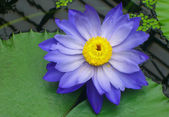 Blue waterlily — Stock Photo