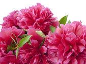 束牡丹鲜花 — 图库照片