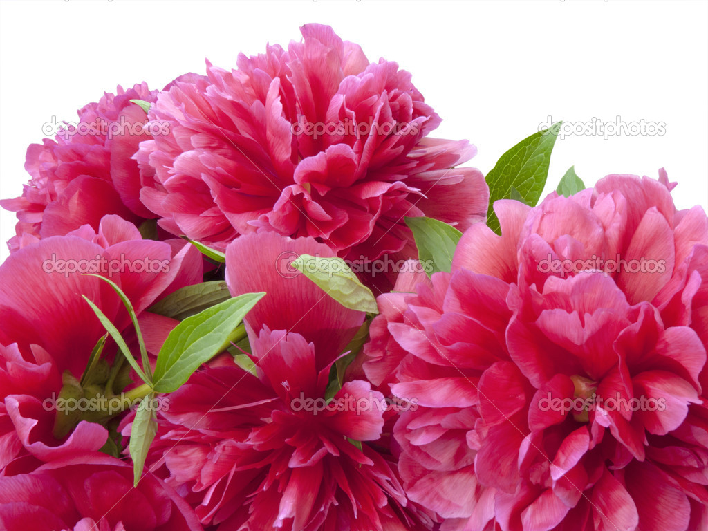 Bunch of peony flowers isolated on white-close up  Stock Photo #10524701