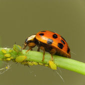 Ladybird attack aphids — Stock Photo