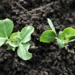 Young green pea plants — Stock Photo