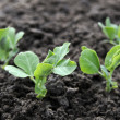 Young green pea plants — Stockfoto
