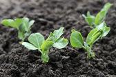 молодые зеленые растения гороха — Стоковое фото