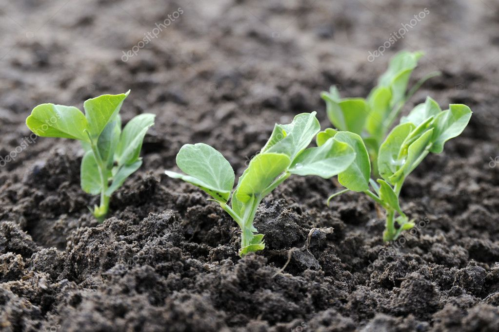 Young green pea plants in a garden  Stock Photo #9938266