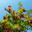 Guelder rose, viburnum, berries - Stock Photo