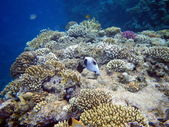 Fish Black-Spotted Puffer In the red sea, coral — Stock Photo