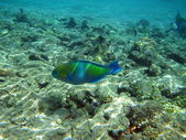 Rusty parrotfish in the Red Sea — Stock Photo
