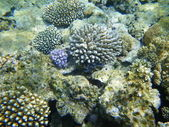 Rugose giant clam (Tridacna) and Verrucose birdnest coral in the Red Sea — Stock Photo
