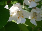 Catalpa, flowers — Stock Photo