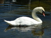 White Swan, water, reflection — Stock Photo