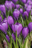 Crocus in purple — Stock Photo
