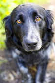 Soulful border collie — Stock Photo