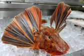 Red Gurnard Fish — Stock Photo