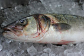 Big Sea Bass Fish — Stock Photo