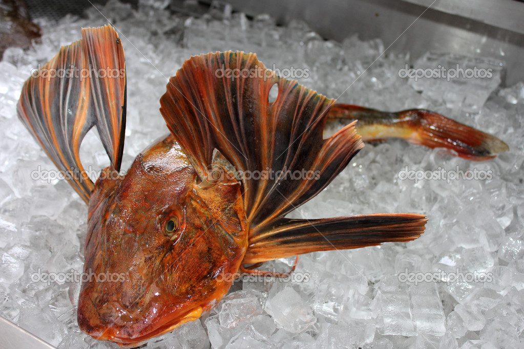 Rare Red Gurnard fish — Stock Photo #10434272