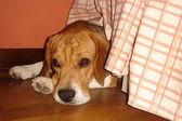 Scared Beagle — Stock Photo
