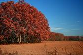 Campi rossi con cielo blu. — Foto Stock