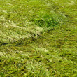 Sedge Water Swamp Green Grass Background — Stock Photo