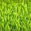 Wheat Grass — Stock Photo #10028644