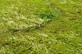 Sedge Water Swamp Green Grass Background — Stock Photo