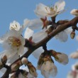Cherry Blossoms against Blue Sky — Stock Photo