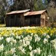 Stock Photo: Tourist Attraction Daffodil Hill Californiin Spring