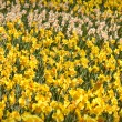 Stock Photo: Field of Yellow and White Daffodils