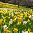 Field of Yellow and White Daffodils — Stock Photo