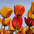 Orange and Yellow Tulips with Blue Sky — Stock Photo