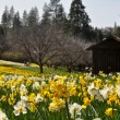 Tourist Attraction Daffodil Hill California in Spring - Stock Photo