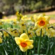 Stock Photo: Yellow Daffodils with Cabin in Background