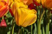 Yellow Tulip Garden — Stock Photo