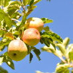 Apple Branch — Stock Photo